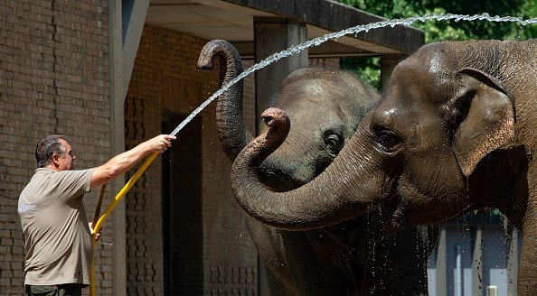 An animal keeper at Berlin Zoo provides the elephant with cooling and refreshment with the help of a water hose. | Photo: Getty Images