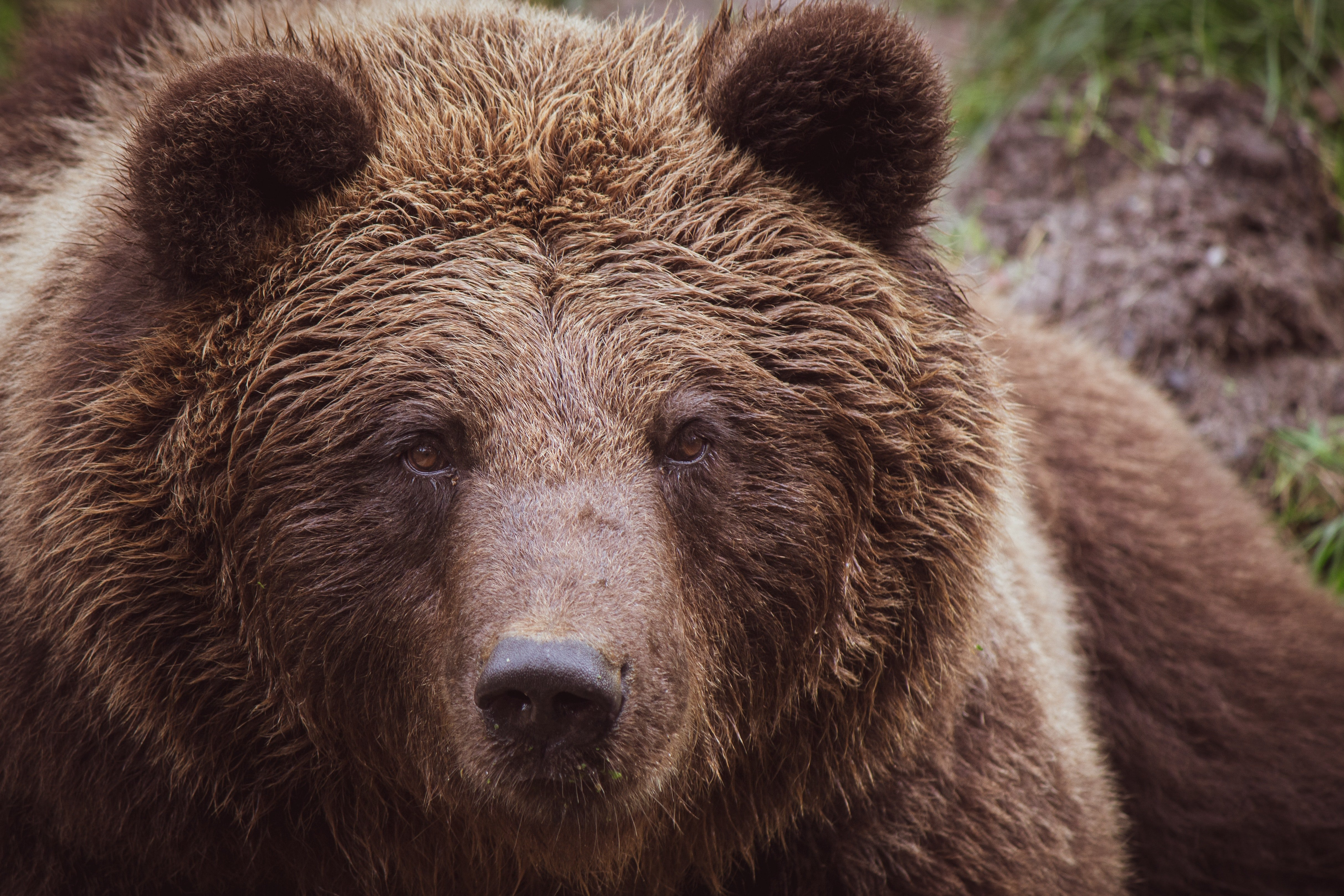 The baby bear asked his mom if he was part grizzly bear. | Photo: Pexels