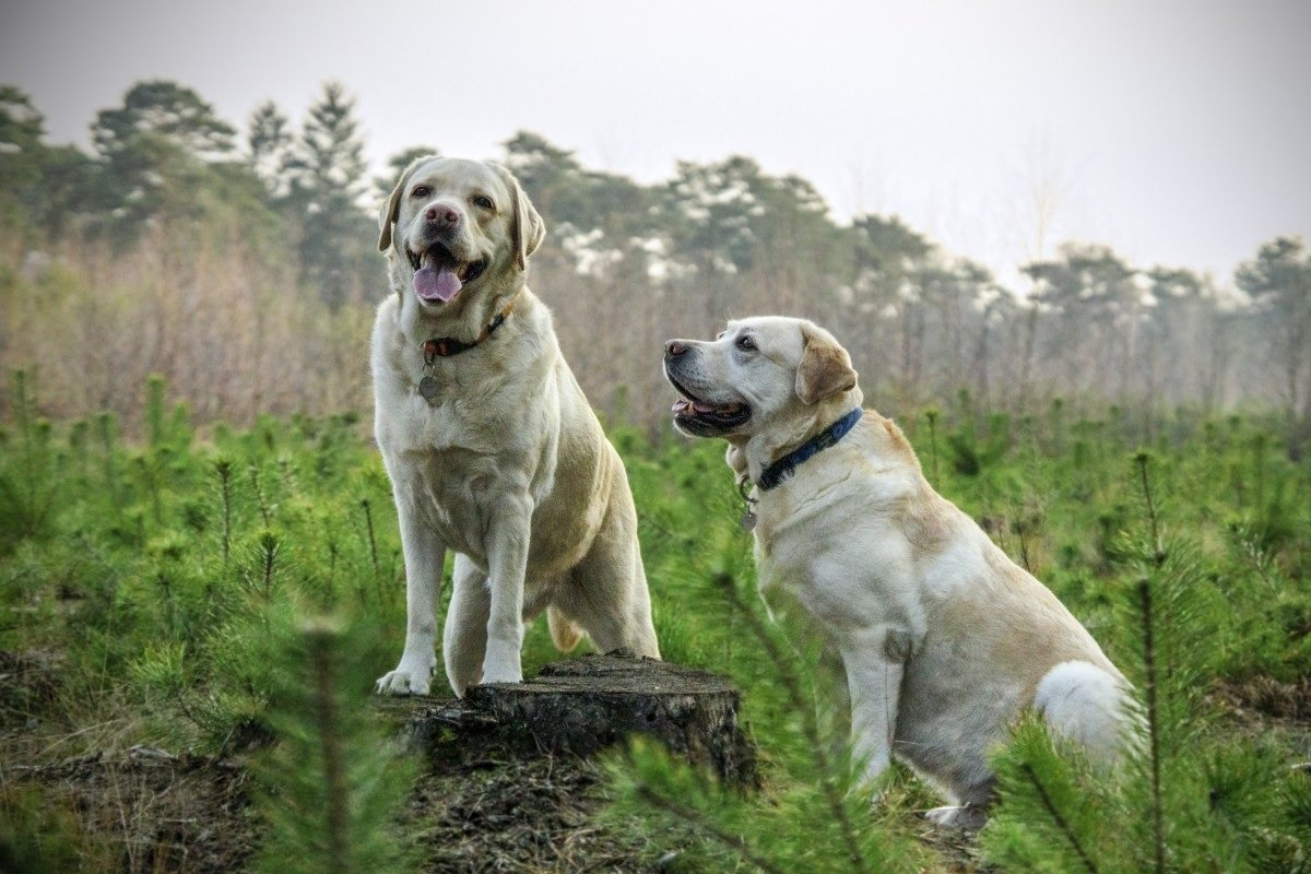 Perros en el campo.| Imagen tomada de: Pxhere