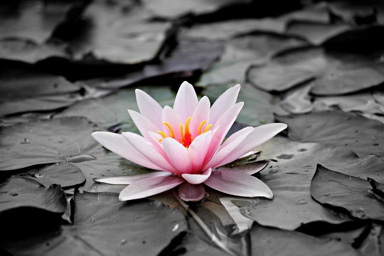 A water lily in full bloom floating around in a pond   Photo: Pixabay/S. Hermann & F. Richter