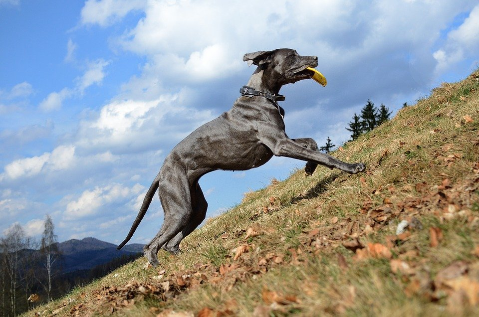 Un grand danois en train de courir | Image : Getty Images