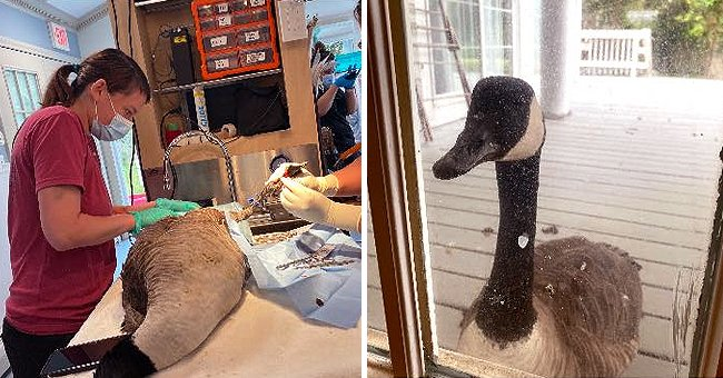 A goose stands at a glass door and watches veterinary staff operate on its feathery mate | Photo: Facebook/CapeWildlife