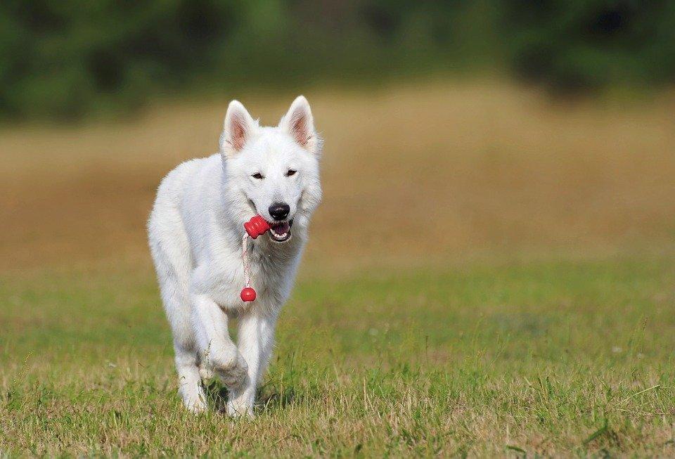 Perro blanco.   Imagen: Pixabay