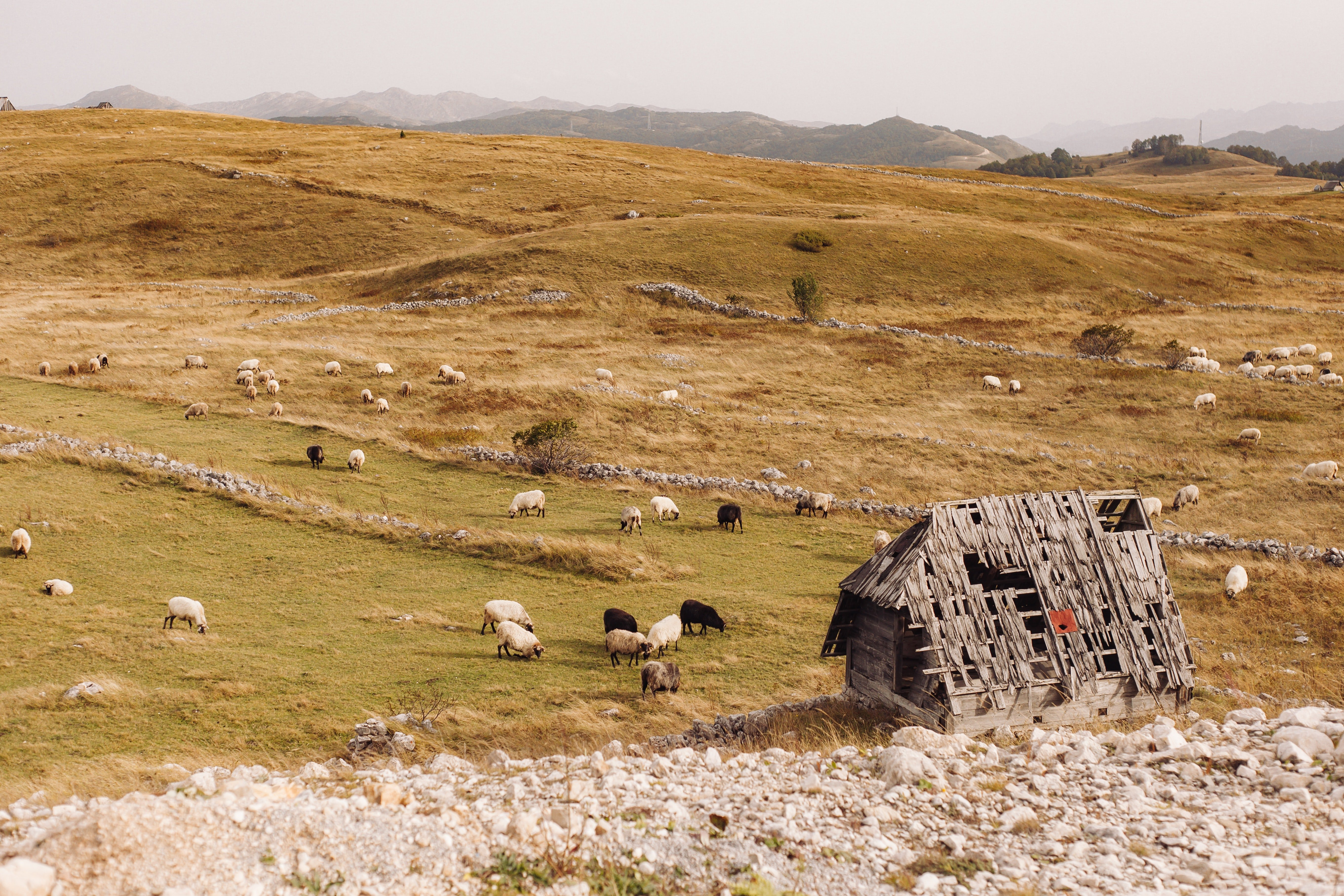 Pictured -  A brown wooden barn on green grass fields and sheep | Source: Pexels