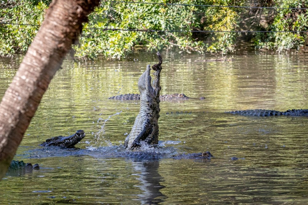 An alligator jumping out of the water with its mouth wide open. | Photo: Shutterstock