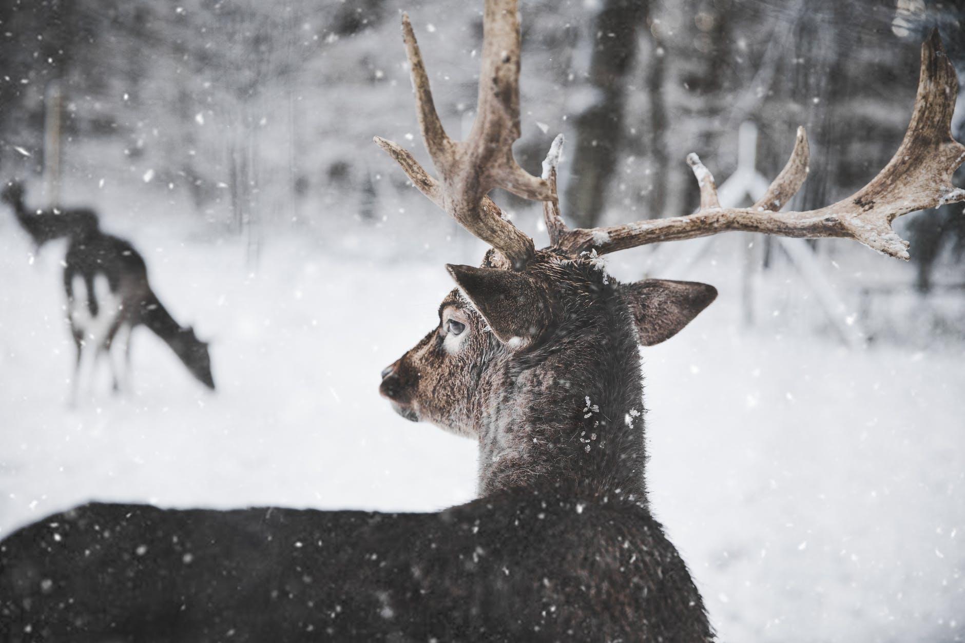 Un cerf dans la neige. l Source: Pexels