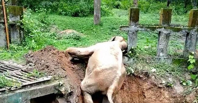 Baby elephant attempting to climb out of deep pit. │ Source: twitter.com/SudhaRamenIFS