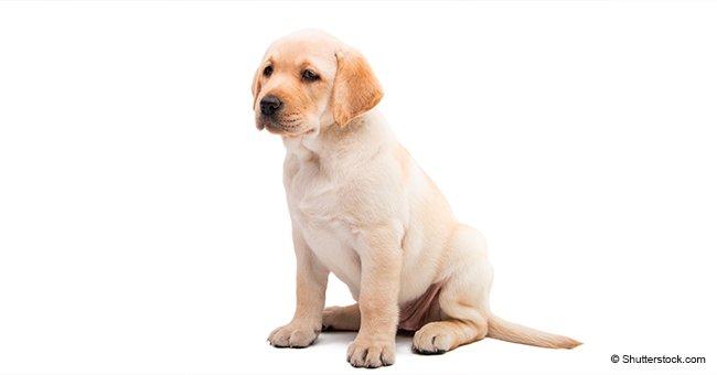 Perro labrador blanco. | Foto: Shutterstock