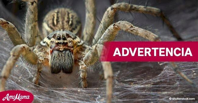 Advertencia: Durante la temporada de frío arañas peligrosas pueden ingresar en tu casa