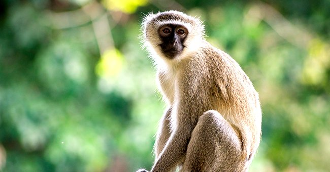 A monkey sitting in front of a green background.   Photo: Wikimedia Commons/Thomas Shahan/CC BY 2.0