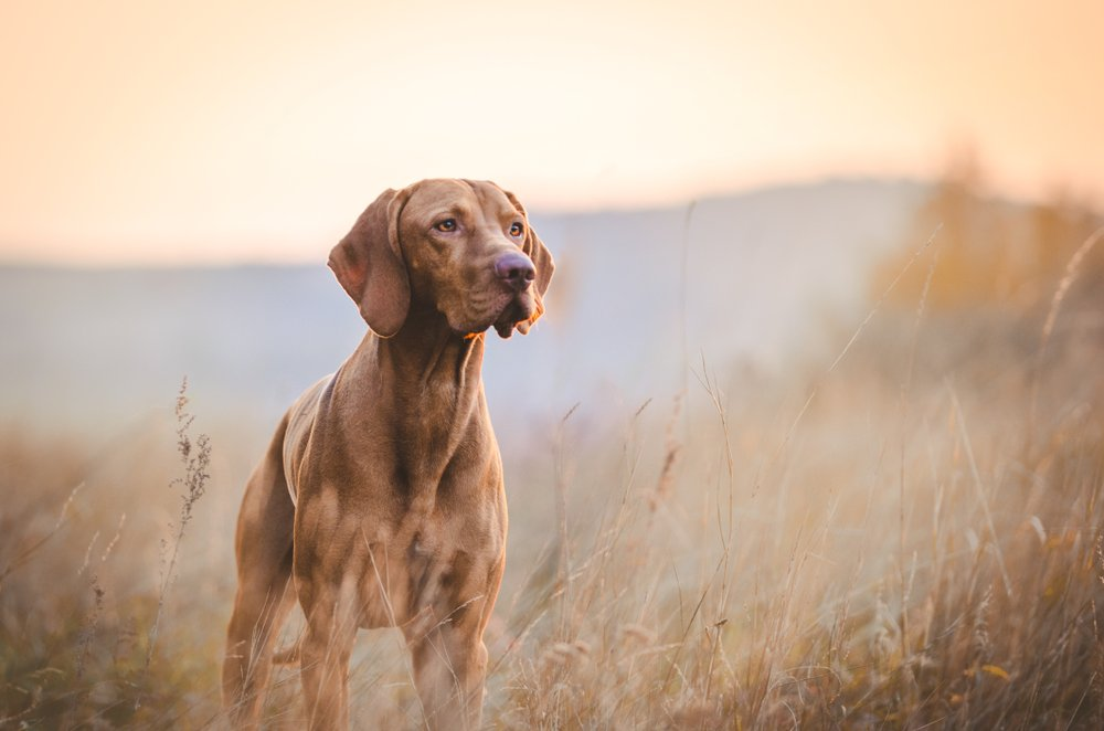 A Hungarian hound pointer dog in the fall, standing in a field | Photo: Shutterstock/TMArt