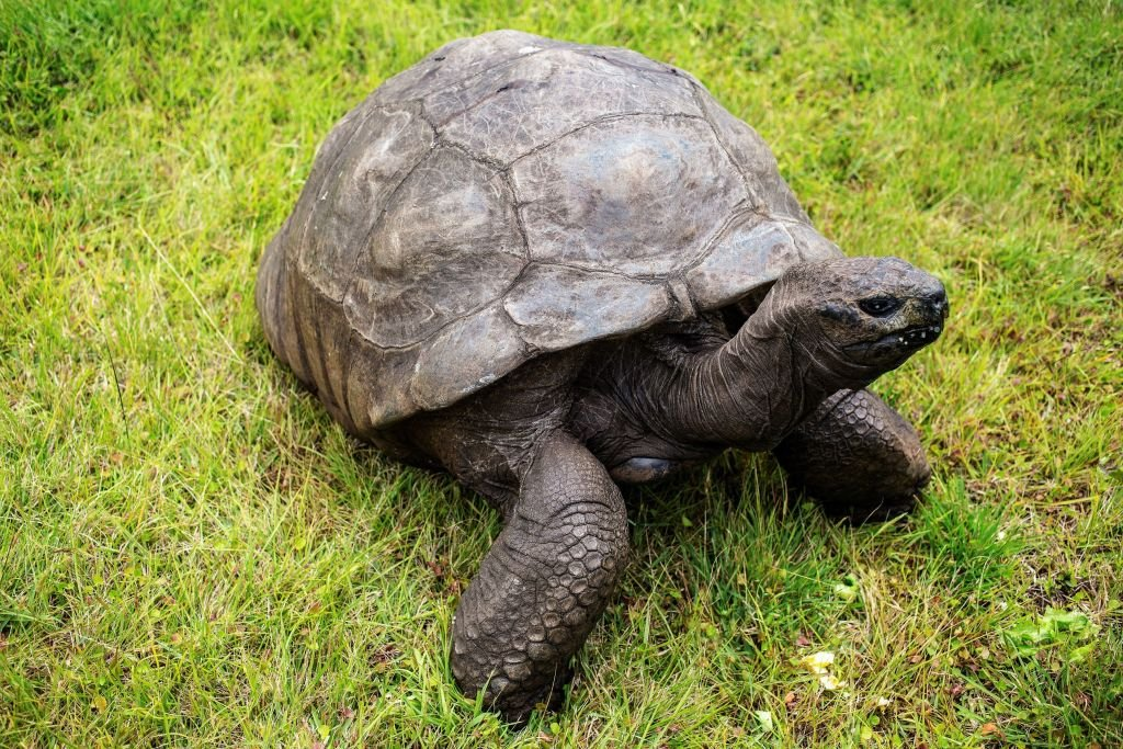 Jonathan, a Seychelles giant tortoise, believed to be the oldest reptile living on earth, on the lawn of the Plantation House in Saint Helena   Photo: Getty Images