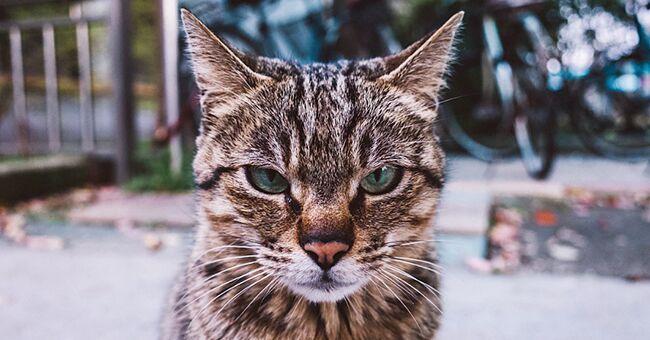 Chiste del día: Hombre decide deshacerse del molesto gato de su mujer de una vez por todas