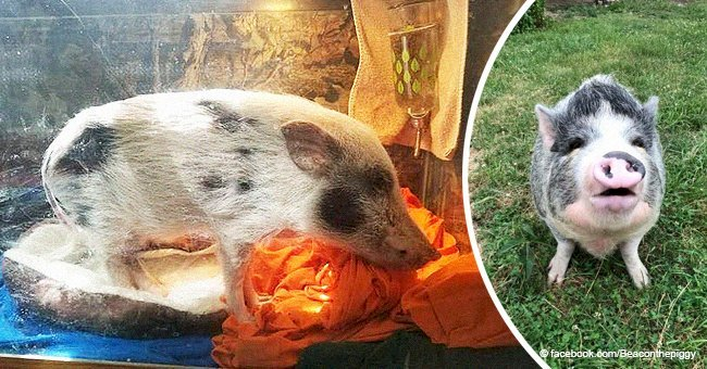 'Mini' pig, who was kept in a fish tank so he would 'stay small' lives happy after rescue