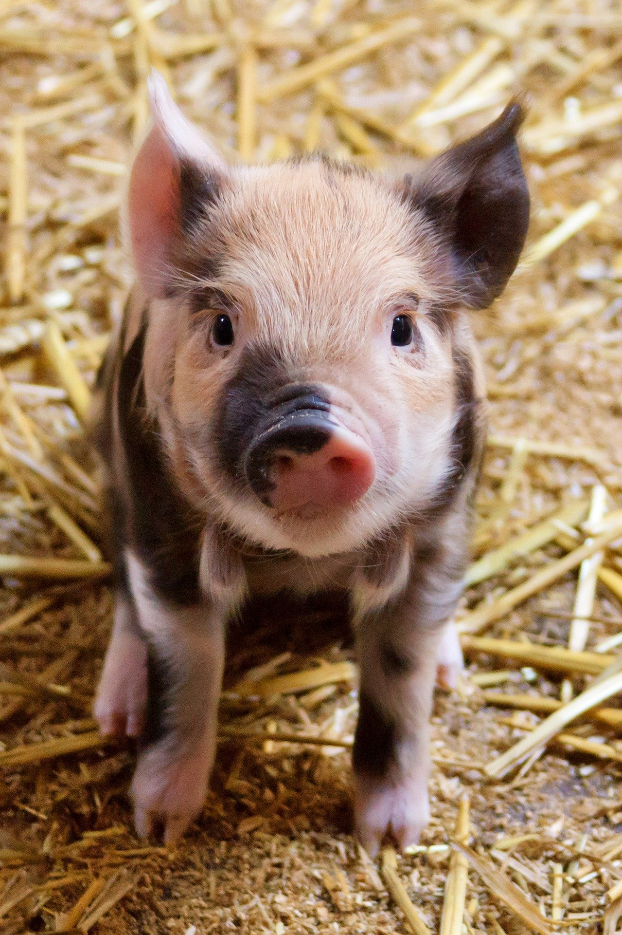 The other farmer offered to take one piglet. | Photo: Pixabay/PublicDomainPictures