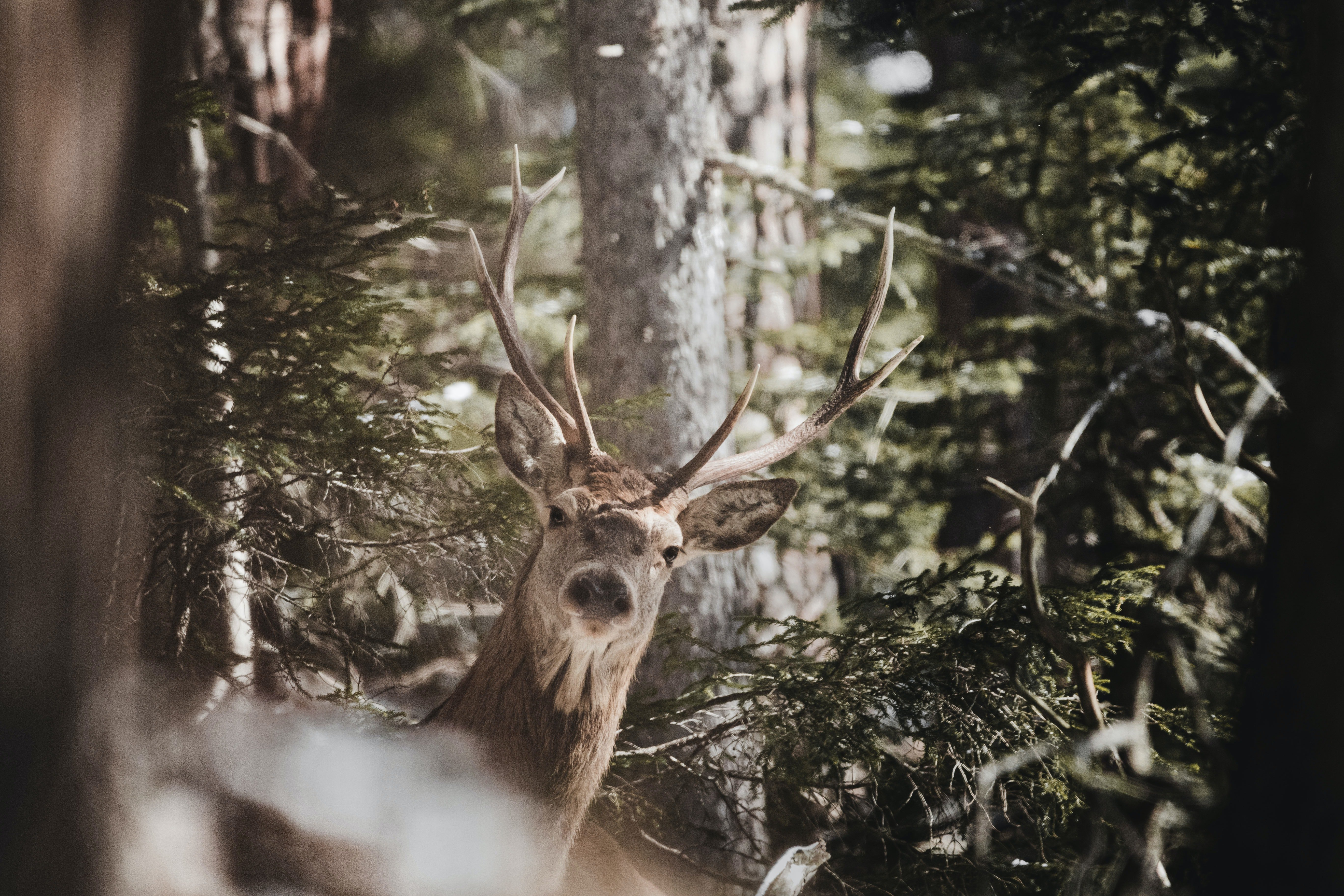 A Moose is captured in the middle of a forest | Photo: Pexels/cmonphotography