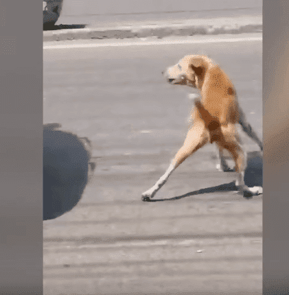 A street dog of a town in the Philippines stopping in the middle of the road to stop the passing by vehicles in order to get help for her dead puppy. | Source: YouTube/Viral Press