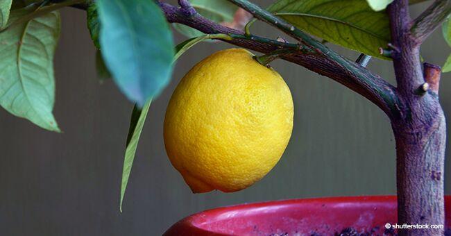 Citrons : un moyen facile de faire pousser son propre citronnier à la maison