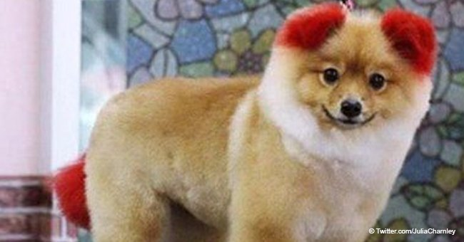 Little pomeranian lost its ear after owner dyed it bright red just for fun