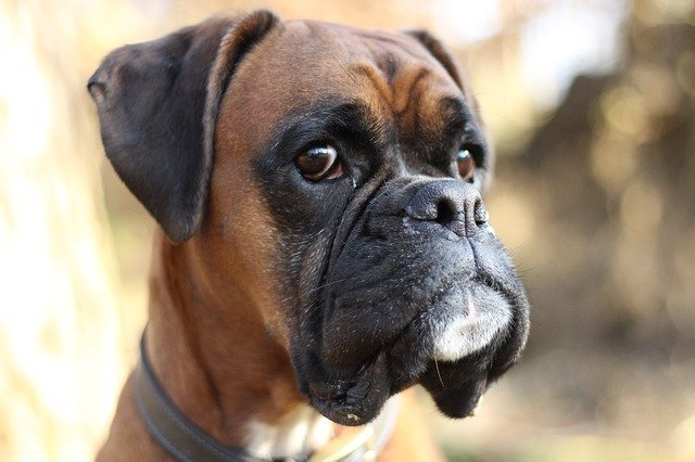 A boxer dog looking away | Source: Pixabay
