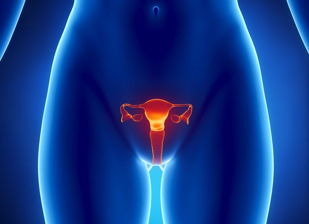 Vue antérieure de l'utérus, du tube de Fallope, de l'ovaire, du col utérin.   Shutterstock