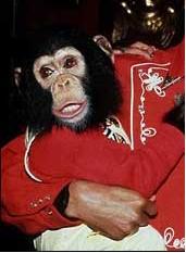 A picture of Bubbles the Chimpanzee. | Source: Wikipedia.
