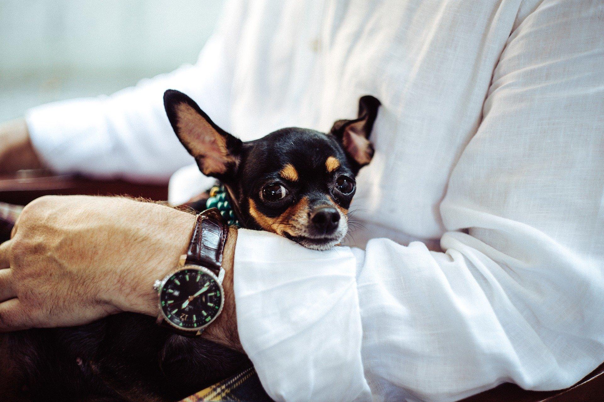 Hombre sentado con un chihuahua en sus brazos. | Foto: Pixabay