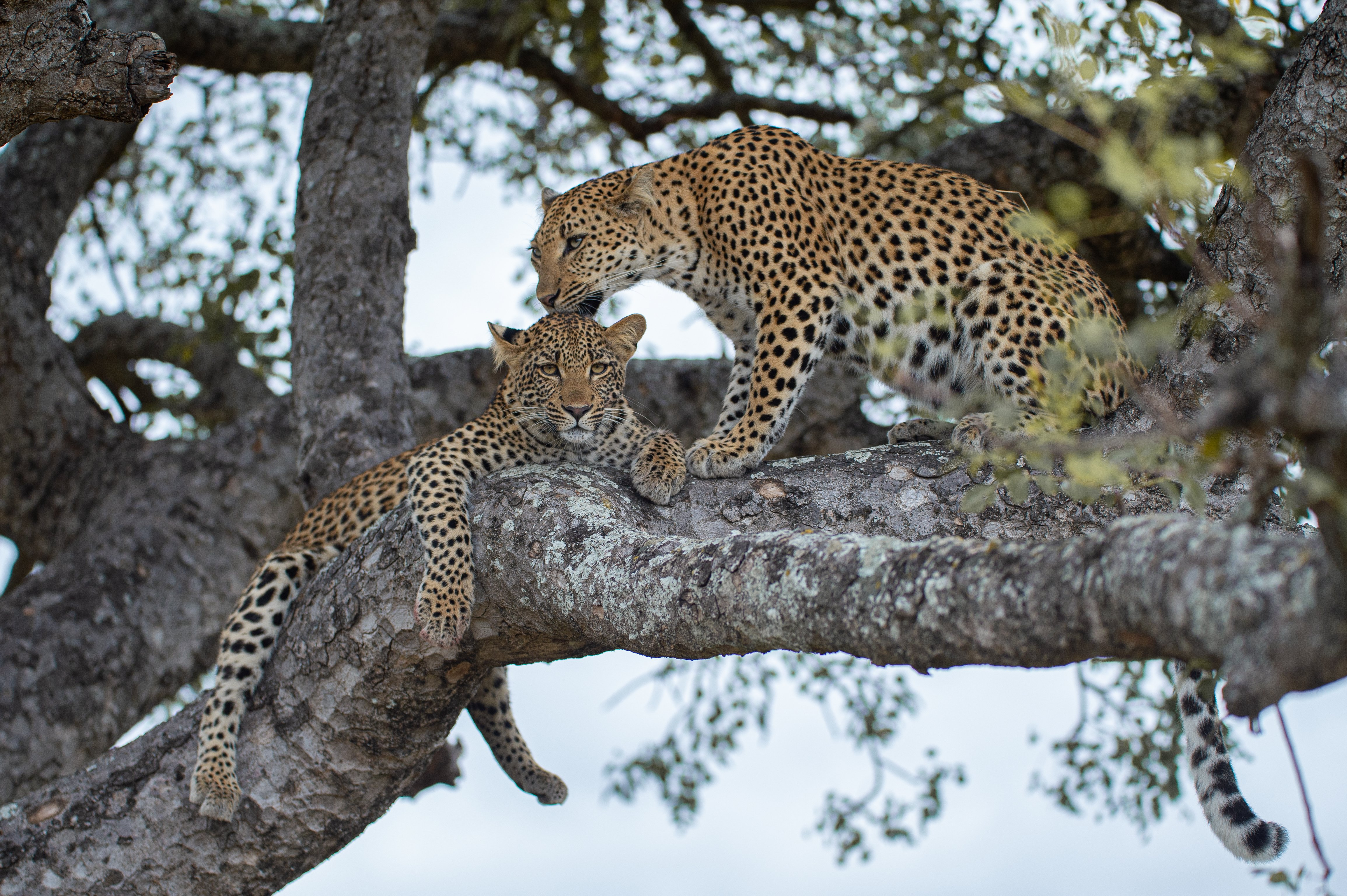 A female leopard and her cub on a tree branch | Photo: Shutterstock