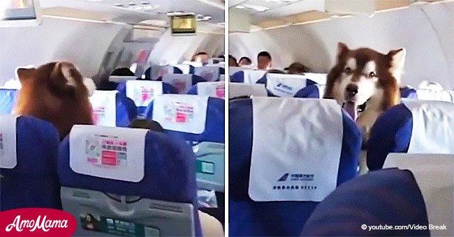 Enternecedor video de un perro sentado en un avión apoyando a su dueño vulnerable
