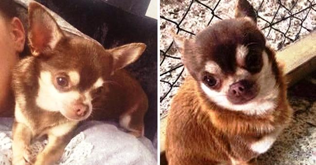 Enlèvement d'un petit chihuahua par un goéland dans une ville d'Angleterre