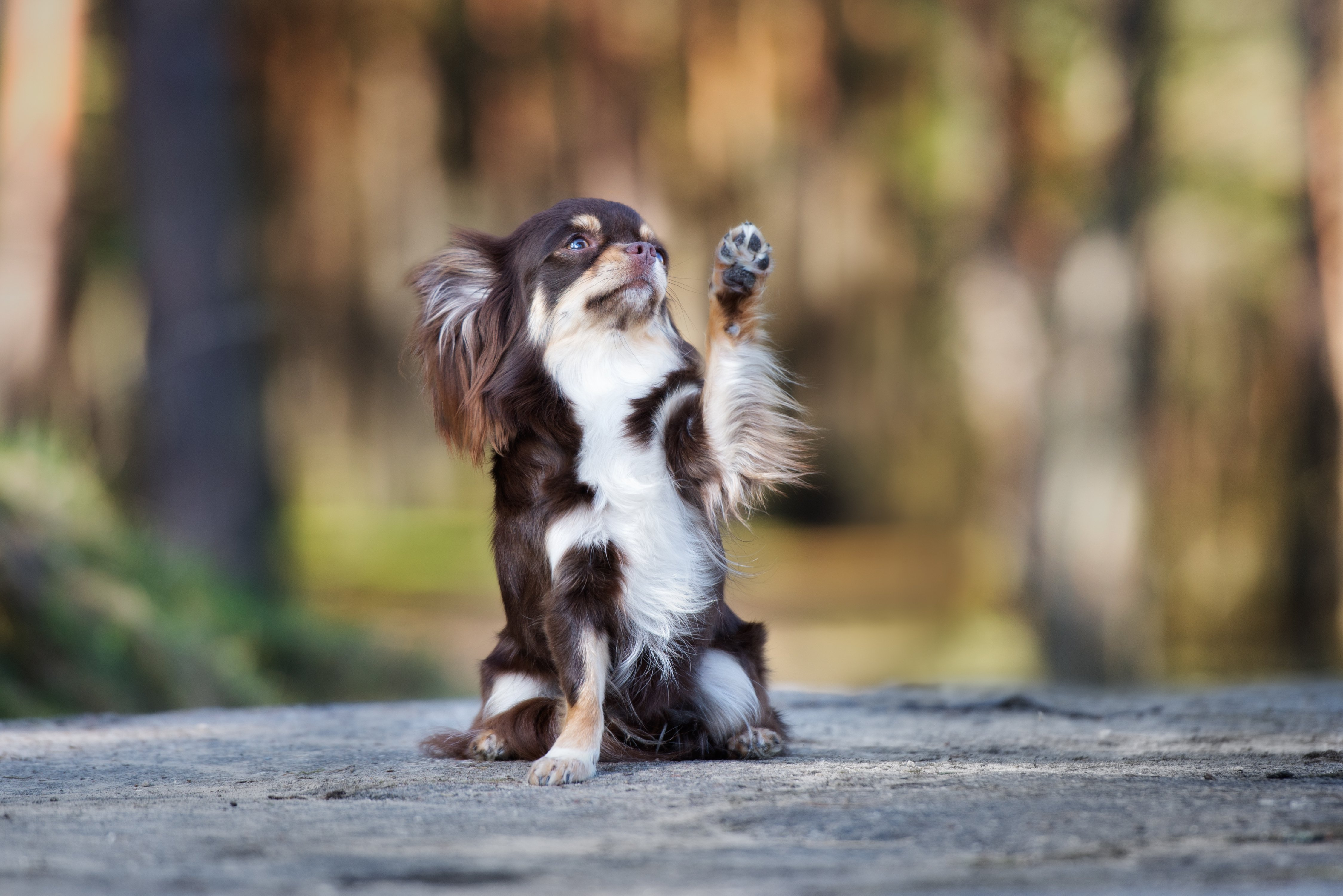 Chihuahua dog waves paw in the air | Photo: Shutterstock