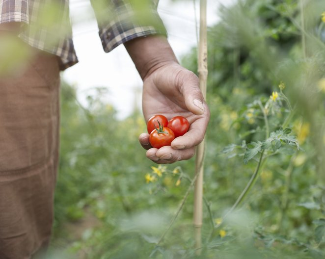 Close up of hand holding tomatoes | Photo: Getty Images