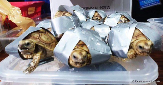 Más de 1.500 tortugas exóticas envueltas en cinta adhesiva son halladas en aeropuerto de Manila
