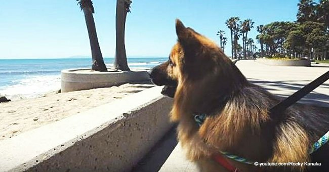 German Shepherd Sees the Ocean for the First Time and His Reaction Goes Viral