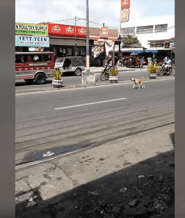 A street dog of a town in the Philippines barking at the vehicles after her puppy was hit by another vehicle. | Source: YouTube/Viral Press