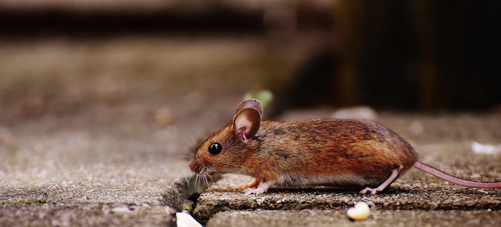 Raton. Fuente: Pixabay
