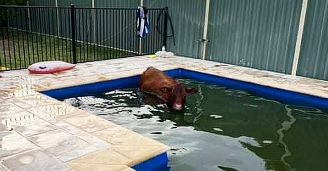 Emergency Service Workers Rush to Help Rescue a Cow That Fell into a Residential Swimming Pool
