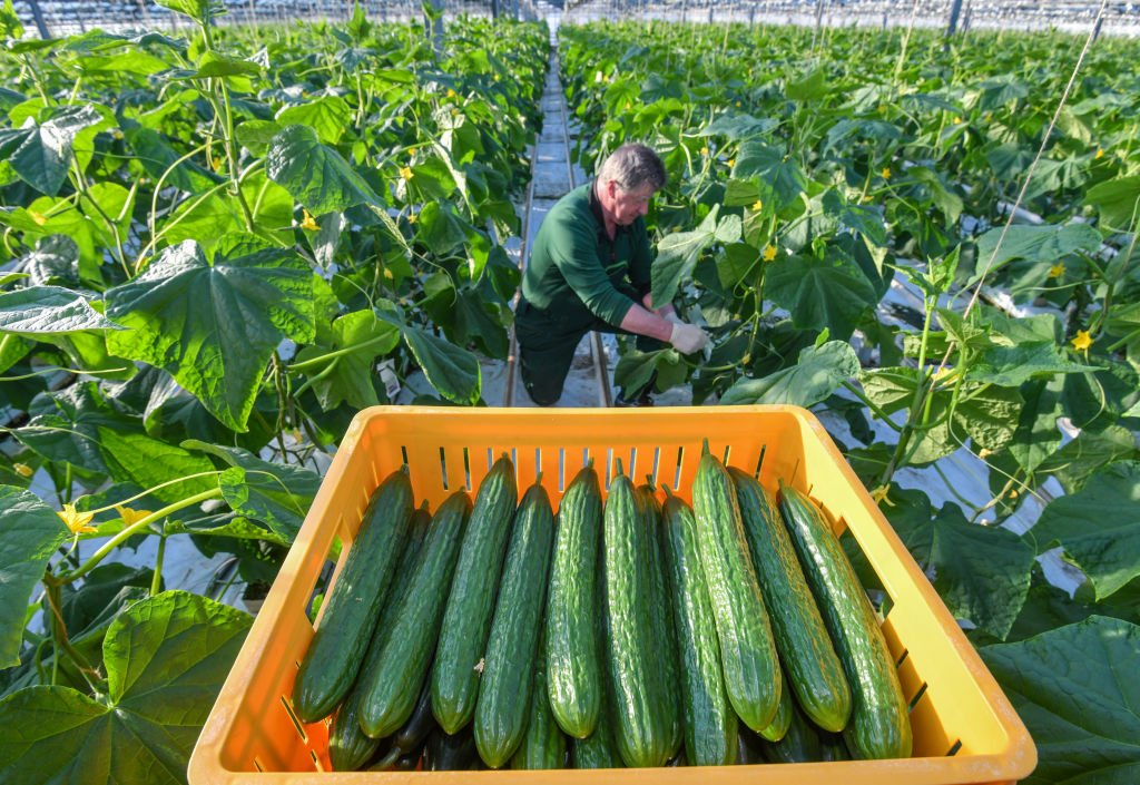 Fontana Gartenbau GmbH produces not only spring flowering plants, but above all tomatoes and cucumbers as well as bedding and balcony plants. | Photo: Getty Images