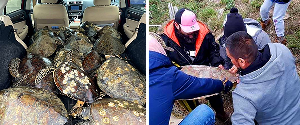 People Join Efforts to Saves Lives of Cold-Stunned Sea Turtles from the Winter Storm in Texas