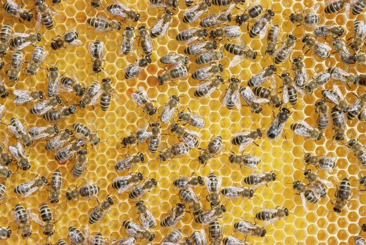 Honey bees on honeycomb  | Photo: Getty Images