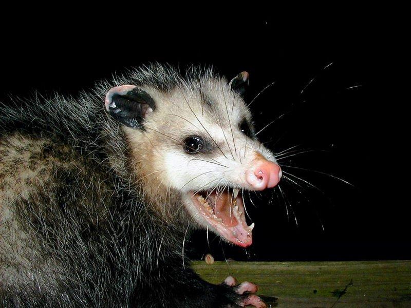 Un opossum de Virginie | Image : Wikimedia Commons
