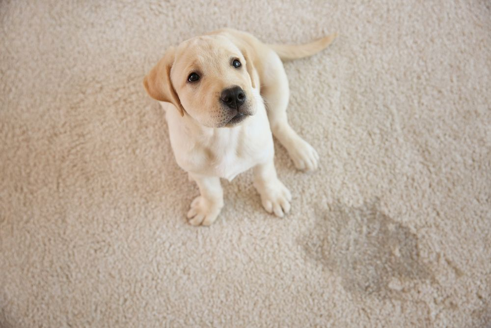 A baby labrador puppy looking up at the camera.   Source: Shutterstock