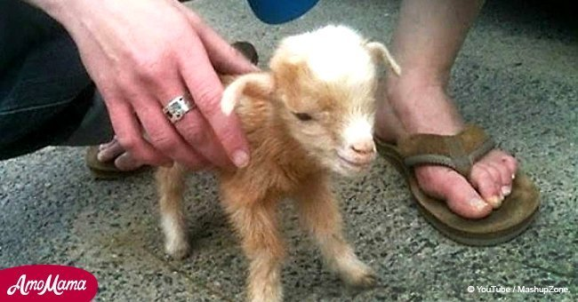 Baby goat jumps all over the place. Make sure to watch it till the end