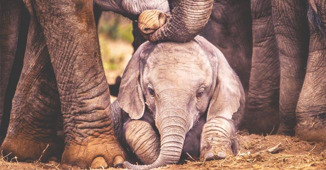 Bebé elefante atado a su madre colapsa por agobiante calor en Tailandia