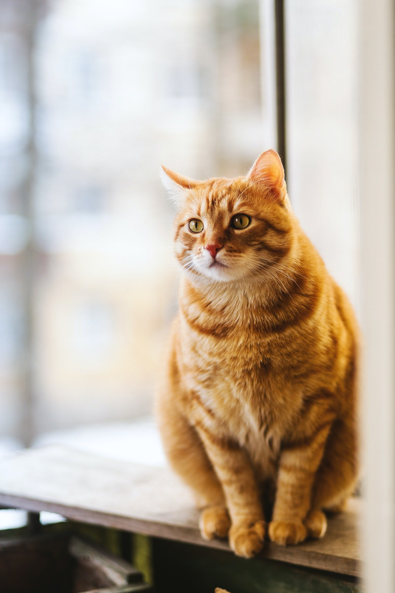 Photo of an orange cat on a table   Photo: Pexels