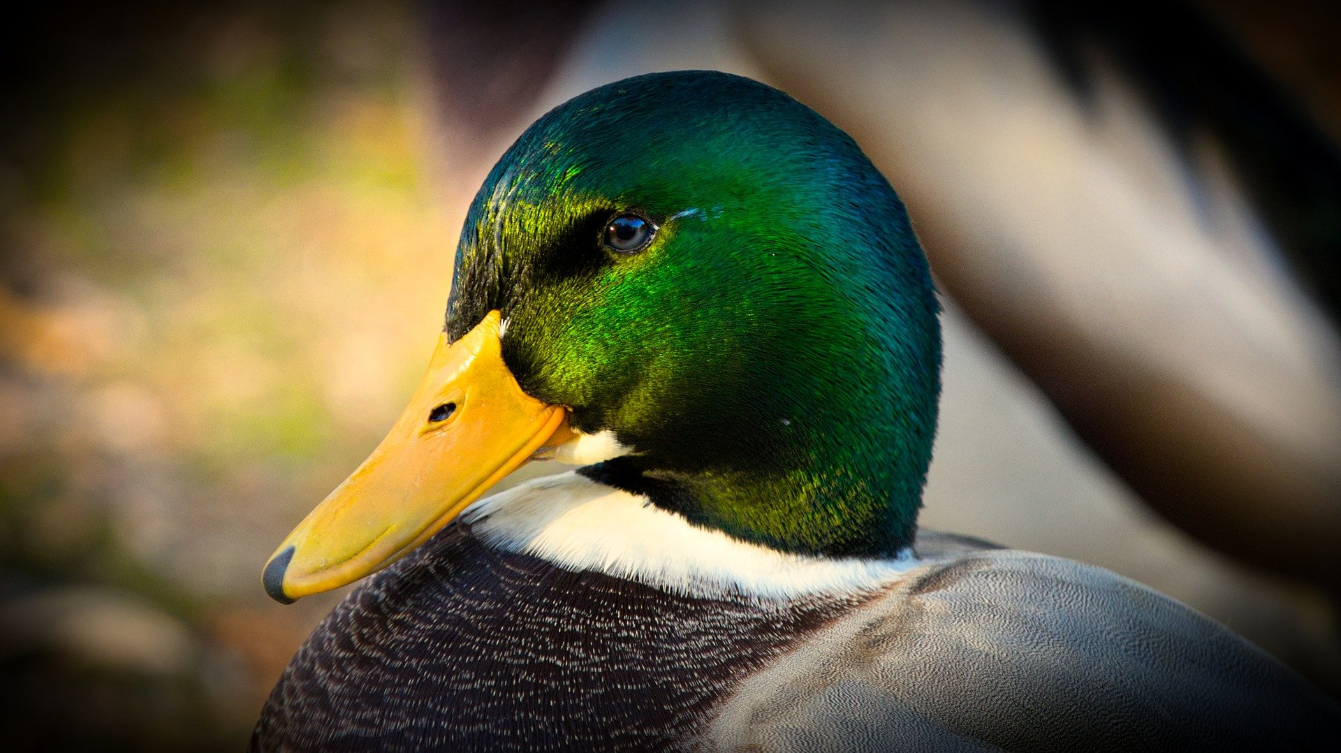 A close up of a duck.   Photo: Pixabay/9883074