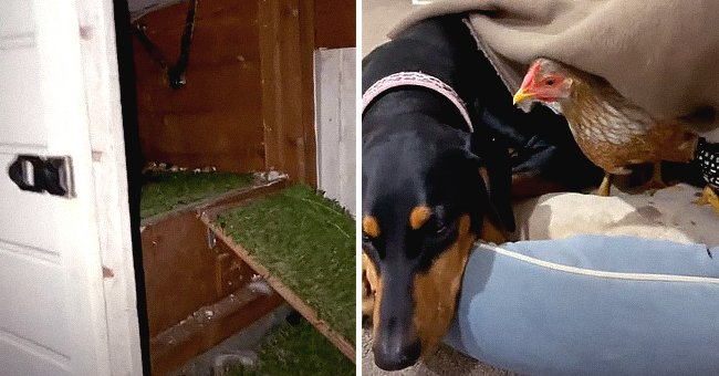 Pet Owner's Video of His Dog Curled up with 2 Chickens Because She Won't Sleep Alone Goes Viral