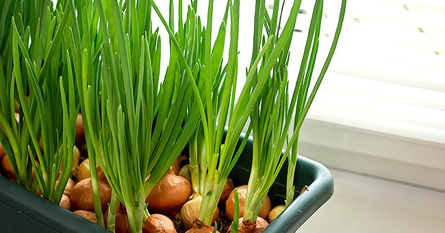 How to Plant and Take Care of Onions at Home — Easy and Useful Tips