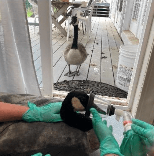 Veterinary staff provide Arnold with oxygen near the doorway so that his mate can be close to him | Photo: Facebook/CapeWildlife