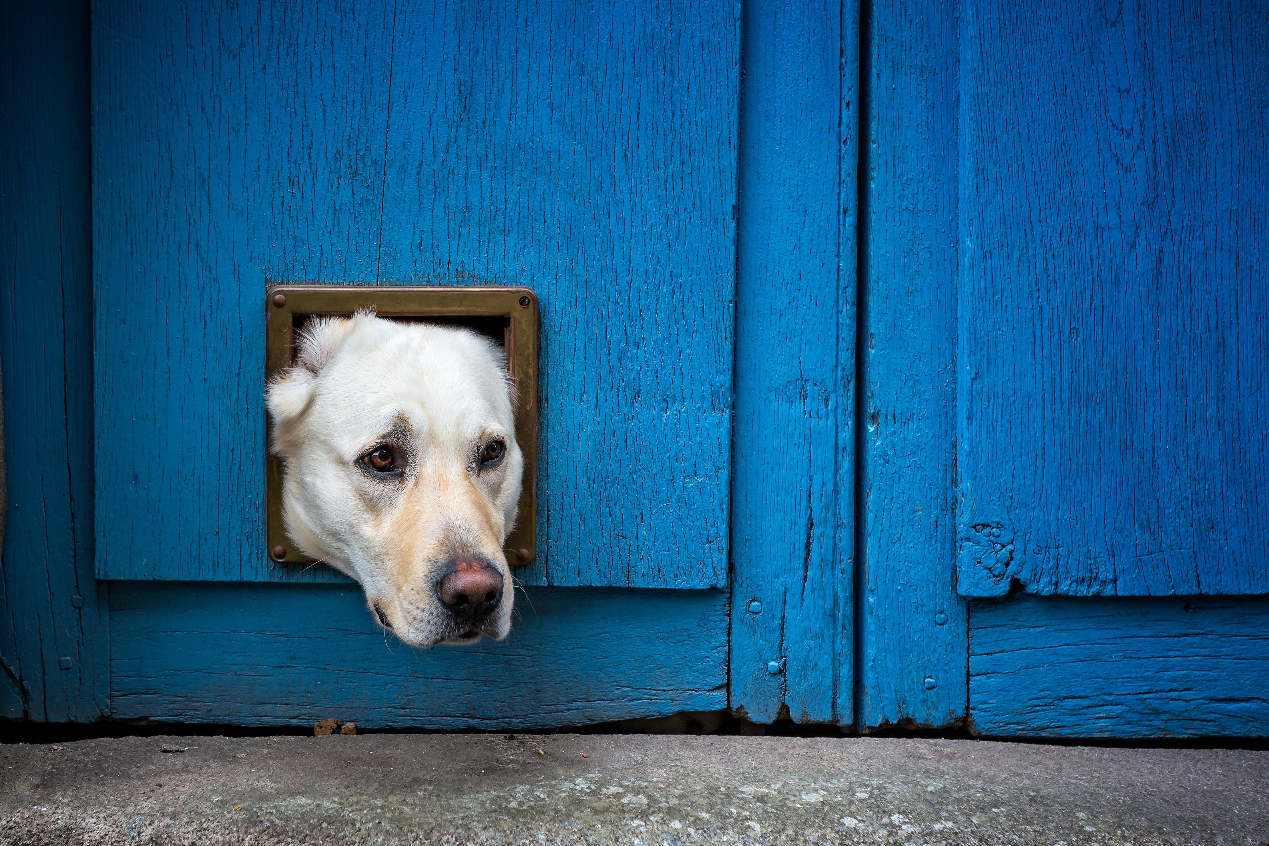 The head of a Labrador sticks out through a doggy door   Photo: Shutterstock/Nigel Jarvis